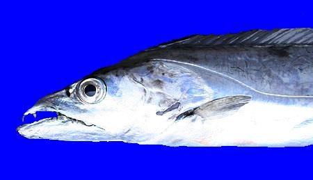 太刀魚 BB素材