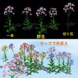 紫苑 配布