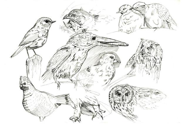 鳥 スケッチ
