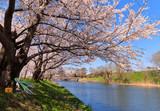 桜と川を眺めるミクさん
