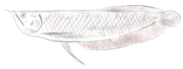 シルバーアロワナ