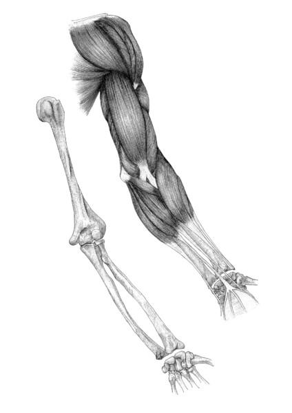 腕解剖図 前面