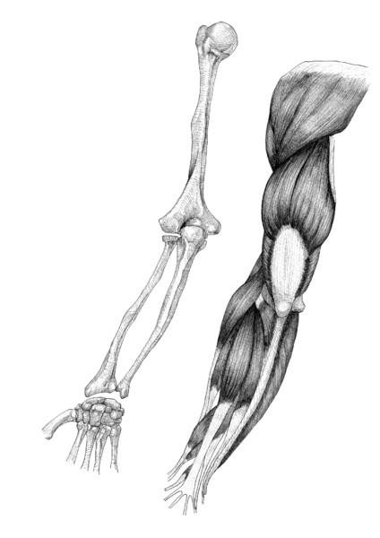 腕解剖図 後面