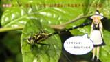 【冬休み企画クイズ・マイナー昆虫列伝-その6】ある東方キャラの名前を持つトンボ