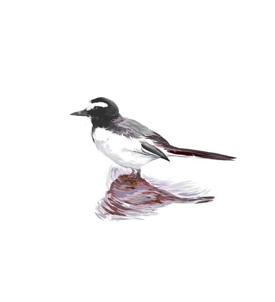 背黒鶺鴒という鳥です